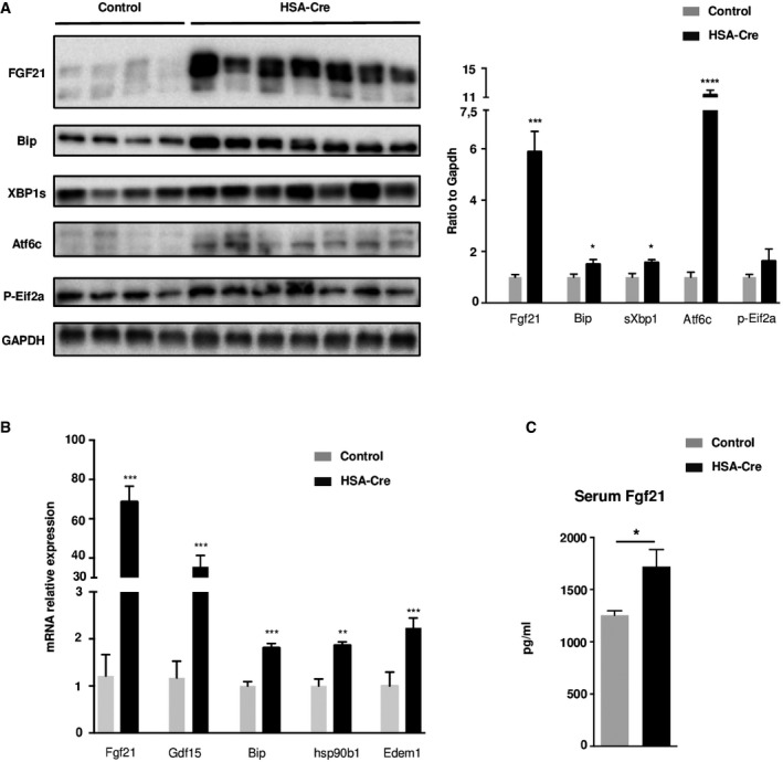 Unfolded Protein Response activation in TA UPR activation was analyzed by immunoblotting with indicated antibodies in TA muscles of 4‐month‐old HSA‐Cre ( n = 7) and control ( n = 4) mice. Quantification by densitometric analyses of <t>Fgf21,</t> Bip, sXbp1 Atf6 cleaved form, and p‐Eif2a protein levels is presented as a graph. Data are normalized to <t>Gapdh</t> and expressed as a fold change relative to the control mice. Data are mean ± SEM (* P