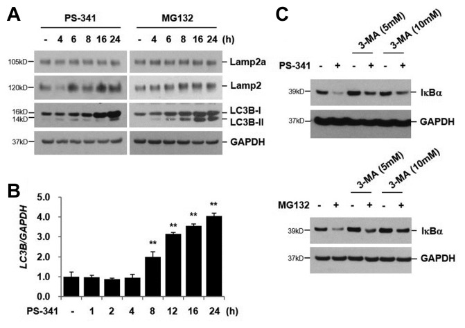 PI-induced IκBα degradation is associated with macroautophagy (A) NCI-H157 cells were treated with PS-341 (50 nM) or MG132 (20 μM) for the indicated times. Total cellular extracts were subjected to Western blot analysis for Lamp2a, Lamp2, LC3B, and GAPDH. (B) Cells were stimulated with PS-341 (50 nM) for the indicated times. Total RNA was isolated and quantitative real-time PCR for LC3B and GAPDH was performed. Data represent the mean ± SD of triplicate experiments. ** P