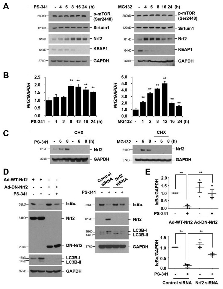 PI-induced IκBα degradation is mediated by Nrf2 up-regulation via both de novo protein synthesis and KEAP1 degradation (A, B) NCI-H157 cells were treated with PS-341 (50 nM) or MG132 (20 μM) for the indicated times. Total cellular extracts were subjected to Western blot analysis for phospho-mTOR (Ser2448) (p-mTOR), sirtuin1, Nrf2, KEAP1, and GAPDH (A). Total RNA was isolated and quantitative real-time PCR for Nrf2 and GAPDH was performed (B). Data represent the mean ± SD of triplicate experiments. ** P