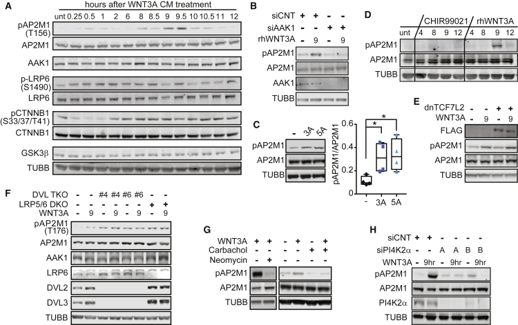 WNT Treatment Induces AAK1-, PIP2-Dependent Phosphorylation of AP2M1 (A) Western blot analysis of HT1080 cells treated with WNT3A CM for indicated times. (B) Western blot analysis of HT1080 cells transfected with either AAK1 or control siRNA for 72 hr. Cells were then treated with rhWNT3A (200 ng/mL) for 15 min, then the medium was changed for fresh, complete <t>DMEM,</t> and cells were incubated for 9 hr. (C) Western blot analysis of pAP2M1 levels in <t>HEK293T</t> cells treated with either rhWNT3A (3A) or rhWNT5A (5A) (200 ng/mL) for 9 hr. The box-and-whisker plot represents pAP2M1/AP2M1 expression from four biological replicates quantified by LiCOR software. (D) Western blot analysis of HT1080 cells treated with either CHIR99021 compound (1 μM) or rhWNT3A (200 ng/mL) for the indicated time. (E) HEK293T cells were transfected with FLAG-dnTCF7L2 for 24 hr. Cells were then treated with WNT3A for 15 min, then the medium was changed for fresh, complete DMEM, incubated for 9 hr, and analyzed using western blot. (F) Western blot analysis of HEK293T WT, DVL TKO clone #4, DVL TKO clone #6, and LRP5/6 DKO cells treated with WNT3A CM for 9 hr. (G) Western blot analysis of HT1080 cells treated with WNT3A CM for 15 mins, then the medium was changed for complete DMEM containing either carbachol (50 μM) or neomycin (100 μM). Cells were incubated for 9 hr prior to cell harvest. (H) Western blot analysis of HT1080 cells transfected with siRNA against PI4K2α for 72 hr and pulsed with WNT3A CM for 15 mins and then incubated for 9 hr. All panels are representative of biological triplicates, unless otherwise noted. For complete statistics, see STAR Methods . See also Figure S4 .