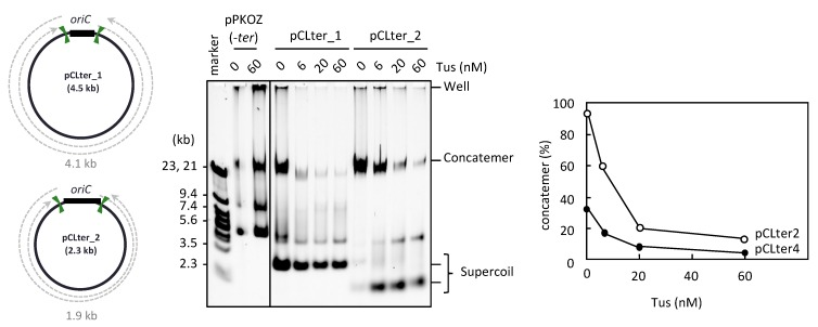 RCR propagation of circular DNA containing ter sites on both sides of oriC . The circular maps of pCLter_1 and pCLter_2 are shown as in Figure 1 . The indicated plasmid (2.5 ng) was incubated in the RCR mixture at 30 °C for 3 h in the absence (0 nM) or presence (6, 20, or 60 nM) of Tus. The product was analyzed by 0.5% TBE-agarose gel electrophoresis and SYBR Green I staining. The ratio of concatemers to the sum of concatemers and supercoils is shown in a graph.