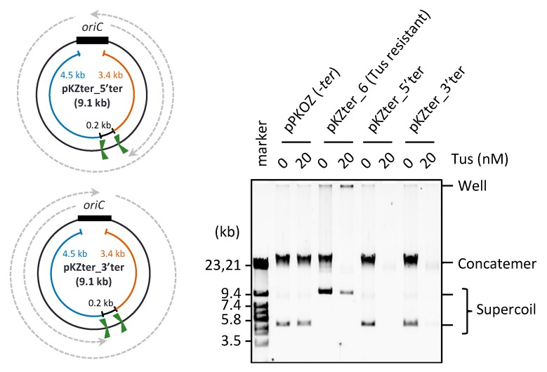 Effect of two same direction ter sites placed opposite oriC . The circular maps of pKZter_5′ter and pKZter_3′ter are shown as in Figure 1 . The indicated plasmid (2.5 ng) was incubated in the RCR mixture at 30 °C for 3 h in the absence (0 nM) or presence (20 nM) of Tus. The product was analyzed by 0.5% TBE-agarose gel electrophoresis and SYBR Green I staining.