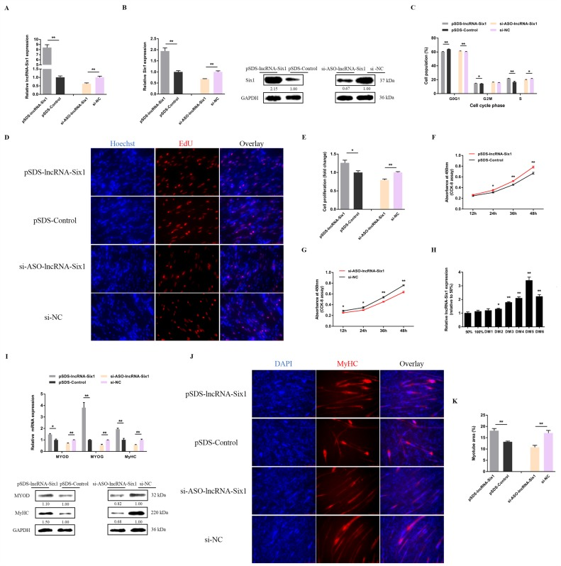lncRNA-Six1 functions to facilitate myoblast proliferation and differentiation. ( A ) The relative expression levels of lncRNA-Six1 with lncRNA-Six1 overexpression and knockdown. ( B ) The mRNA and protein expression levels of Six1 from pSDS-lncRNA-Six1 and si-ASO-lncRNA-Six1-transfected CPMs. The numbers shown below the bands were folds of band intensities relative to the control. Band intensities were quantified by ImageJ and normalized to GAPDH. Data are expressed as a fold change relative to the control. There was only one Western blot performed per treatment, and therefore n = 1. ( C ) Cell cycle analysis of CPMs after lncRNA-Six1 overexpression and knockdown. ( D ) EdU proliferation assays for CPMs with the overexpression and inhibition of lncRNA-Six1, ( E ) the numbers of proliferative cells were also counted. ( F , G ) CPM growth curves following the transfection of pSDS-lncRNA-Six1 and si-ASO-lncRNA-Six1. ( H ) Relative lncRNA-Six1 expression during CPM differentiation. ( I ) The mRNA and protein expression levels of myoblast differentiation marker genes with lncRNA-Six1 overexpression and knockdown in the CPMs. The numbers shown below the bands were fold-changes of band intensities relative to control. Band intensities were quantified by ImageJ and normalized to GAPDH. Data are expressed as a fold-change relative to the control. There was only one Western blot performed per treatment, and therefore n = 1. ( J ) Immunofluorescence analysis of MyHC-staining cells with the overexpression and knockdown of lncRNA-Six1 in CPMs. ( K ) Myotube area (%) of CPMs with lncRNA-Six1 overexpression and knockdown. In all panels, results are expressed as the mean ± SEM of three independent experiments, and the statistical significance of differences between means was assessed using an unpaired Student's t -test. (* p