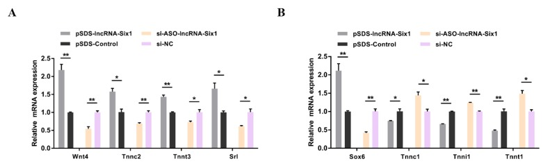 lncRNA-Six1 induces the fast-twitch muscle phenotype. ( A , B ) The relative mRNA expression of several fast and slow muscle genes induced by lncRNA-Six1 overexpression and inhibition in CPMs. In all panels, data are presented as means ± S.E.M. of three independent assays. Statistical significance of differences between the means was assessed using an unpaired Student's t -test. (* p
