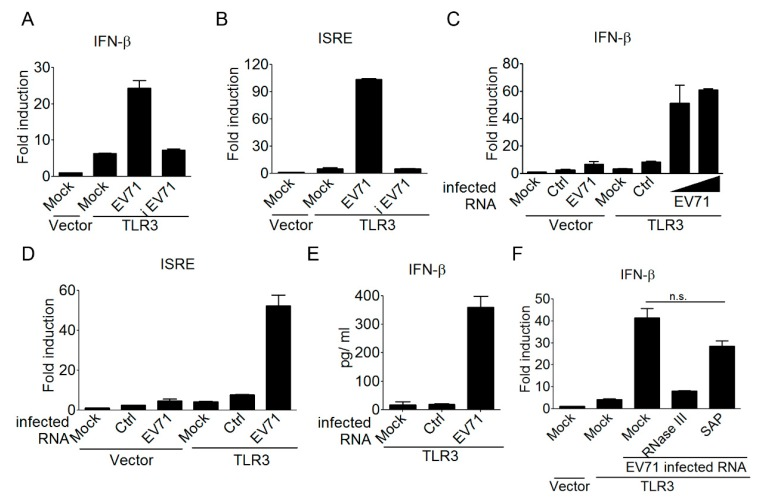 EV-A71-derived, double-stranded <t>RNA</t> is a ligand for TLR3 detection. ( A – D ) HEK293 cells were transfected with either a control vector or Flag-tagged TLR3, plus an IFN-β reporter plasmid ( A , C ) or an ISRE reporter plasmid ( B , D ). After 24 h, the transfected cells were either left untreated or infected with EV-A71 (MOI, 0.1) or heat-inactivated EV-A71 (iEV-A71) (MOI, 0.1). After another 40 h, the treated cells were harvested to analyze the IFN-β or ISRE promoter activity ( A , B ). Control RNA (ctrl, 2 µg/mL) and EV-A71-infected RNA (two doses, 1 and 2 µg/mL) harvested from HEK293 cells and EV-A71-infected HEK293 cells, respectively, were used to stimulate the transfected cells by DOTAP lipofection. After another 20 h, the treated cells were harvested to analyze the IFN-β or ISRE promoter activity ( C , D ). ( E ) HEK293 cells were transfected with Flag-tagged TLR3. Control RNA (1 µg/mL) and EV-A71-infected RNA (1µg/mL) were used to stimulate the transfected cells by DOTAP lipofection. After another 20 h, IFN-β in the supernatants was measured using ELISA. ( F ) Like Panel A, HEK293 cells were transfected as indicated. EV-A71-infected RNA left untreated or treated with RNase III or Shrimp Alkanine Phosphatase <t>(SAP)</t> was used to stimulate the transfected cells by DOTAP lipofection. Subsequently, these cells were subjected to luciferase assays. NS: not significant (Student's t -test). Data are representative of at least two or three independent experiments.