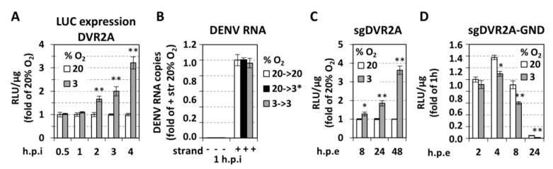 Low oxygen tension selectively enhances DENV RNA replication. ( A ) Huh7 cells preincubated at 20% or 3% O 2 for 18 h were inoculated with DVR2A (MOI = 1) and lysed at the specified time-points post inoculation. Luciferase activity is expressed as RLU/μg of total protein amount and values obtained with 20% O 2 cells were set for each time point to one. ( B ) Hypoxia does not influence viral entry. RT-qPCR analysis of intracellular DENV positive (+) strand RNA copies from Huh7 cells that were inoculated with DENV at MOI = 1 and incubated for 1 h as specified. 20→3*% O 2 refers to cells that were preincubated at 20% O 2 and transferred immediately after virus inoculation from 20% to 3% O 2 . Negative (−) strand RNA was quantified in order to indicate the absence of viral replication at 1 h post-inoculation. Values are expressed relative to the positive-strand RNA obtained at 20→20% O 2 . ( C , D ) Hypoxia increases viral RNA replication but not translation. Huh7 cells preincubated at 20% or 3% O 2 for 18 h, were electroporated (5 μg RNA/4 × 10 6 cells) with subgenomic sgDVR2A (sgDV, C ) or its replication defective variant, sgDVR2A-GND (GND, D ), and further incubated at the preincubation conditions. Cells were lysed at the indicated time-points and luciferase activity is expressed as RLU/μg of total protein amount. Luciferase levels measured one hour post-electroporation (h.p.e.) were used for normalization for each construct and oxygen condition. For sgDV ( C ), values obtained at 3% O 2 are expressed as fold of the respective ones at 20% O 2 . For GND (D), values obtained under 20% O 2 at 2 h, were set to 1. In all panels, bars represent mean values from at least three independent experiments in triplicate. Error bars indicate standard deviations. * p