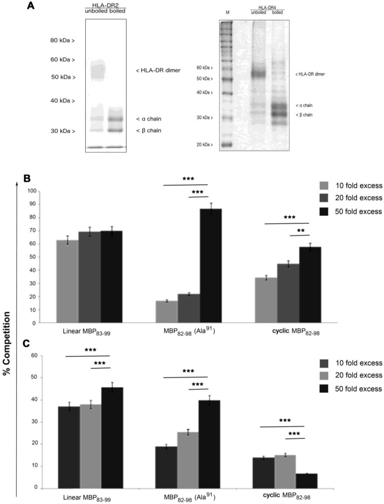 ( A ) SDS-PAGE analysis (12%) of detergent solubilized <t>HLA-DR2</t> (DRB5*0101/DRB1*1501; left) or HLA-DR4 (DRB1*0401; right) where 5–8×10 9 of the Epstein Barr virus (EBV)-transformed B cell line HTC-LAN and BSM were lysed, respectively, and their affinity was purified using the immobilized monoclonal antibody L243. After concentration on a 30-kDa membrane, 670–700 g of the human leukocyte antigen (HLA)-II were obtained and stored in phosphate buffered saline at a concentration of 0.5 mg/mL. The purity of HLA-DR2 and HLA-DR4 were about 85%. ( B ) Competition binding of the MBP 82–98 peptide analogues in 10-fold, 20-fold, and 50-fold excess of AMCA-labeled MBP 83–99 , which is specific to the HLA-DR2b chain, was used as the peptide competitor, and ( C ) AMCA-labeled HA 306–318 , which is specific to the HLA-DR4, was used as the peptide competitor. All of the experiments were in triplicates, where ** p