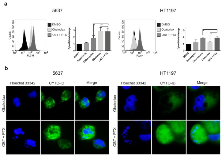 Autophagic flux blockade correlates with apoptotic cell death in obatoclax plus paclitaxel-treated HT1197 cells. Cells were treated with 1 µM obatoclax or 1 µM obatoclax and 0.1 µM paclitaxel for 48 h. DMSO, 800 nM rapamycin, and 50 µM chloroquine were used as controls. ( a ) Obatoclax-blocked autophagic flux at 48 h was measured by flow cytometry-based profiling of Cyto-ID TM Autophagy Detection in 5637 and HT1197 cell lines. Histograms show the mean intensity of each treatment. Data were presented as the mean ± SD. * p -value