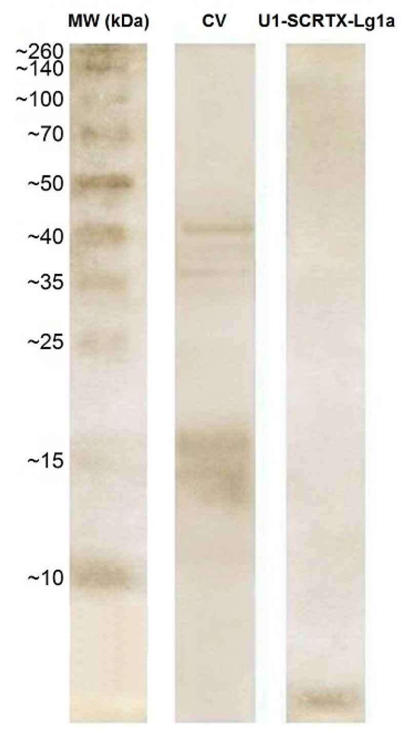 Electrophoretic analysis of U 1 -SCRTX-Lg1a. Silver-stained 12% <t>SDS-PAGE</t> gel of the crude venom of L. gaucho (CV) (5 µg) and purified antimicrobial U 1 -SCRTX-Lg1a (2.5 µg) under non-reducing conditions. On the left are numbers that correspond to the positions of molecular weight markers (MW) expressed in kDa.