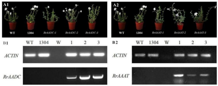 Phenotype and RT-PCR analysis of wild-type and RrAADC and RrAAAT transgenic Petunia . ( A1 , A2 ) Plant morphology of Petunia plant after 150 days of transplanting; ( B1 , B2 ) messenger RNA (mRNA) expression of RrAADC and RrAAAT in the flowers of transgenic Petunia plants; (WT) wild type; (1304) pCAMBIA1304 transgenic plants; (W) Water; (1–3) transgenic plants.
