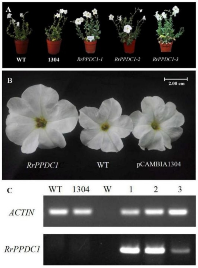 Phenotype and RT-PCR analysis of wild-type and RrPPDC1 transgenic Petunia . ( A , B ) Plant morphology of Petunia plants after 150 days of transplanting; ( C ) mRNA expression of RrPPDC1 in the flowers of transgenic and control Petunia plants; (WT) wild type; (1304) pCAMBIA1304 transgenic plants; (W) Water; (1–3) transgenic plants.