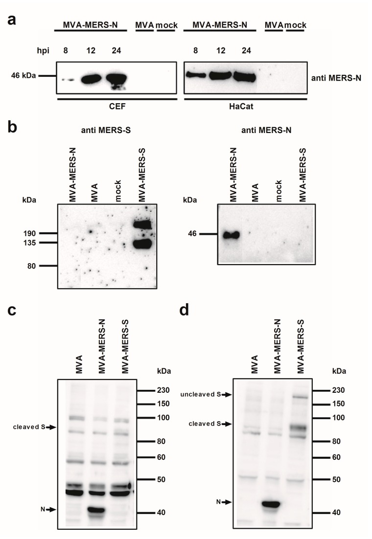 Analysis of recombinant MVA-MERS proteins; ( a ) Western Blot analysis of MERS-CoV N protein produced in CEF or HaCat cells. Lysates from cells infected with recombinant MVA (MVA-MERS-N, MVA-MERS-S) or non-recombinant MVA (MVA) at a MOI of five, or from non-infected cells (mock) were prepared at eight, 12, or 24 hpi. Proteins were analyzed by immunoblotting with a monoclonal anti-MERS-N antibody; ( b – d ) Western Blot analysis of MERS-CoV N and S proteins produced in CEF. Total cell extracts from CEF infected with recombinant MVA (MVA-MERS-N, MVA-MERS-S) or non-recombinant MVA (MVA) at a MOI of five, or from non-infected cells (mock) were prepared at 24 hpi. Cell lysates and proteins were tested by immunoblotting using monoclonal anti MERS-N and anti MERS-S antibody ( b ) or polyclonal sera from MERS-CoV infected rabbits ( c ) or cynomolgus macaques ( d ). Arrows indicate the N- or S-specific protein bands.
