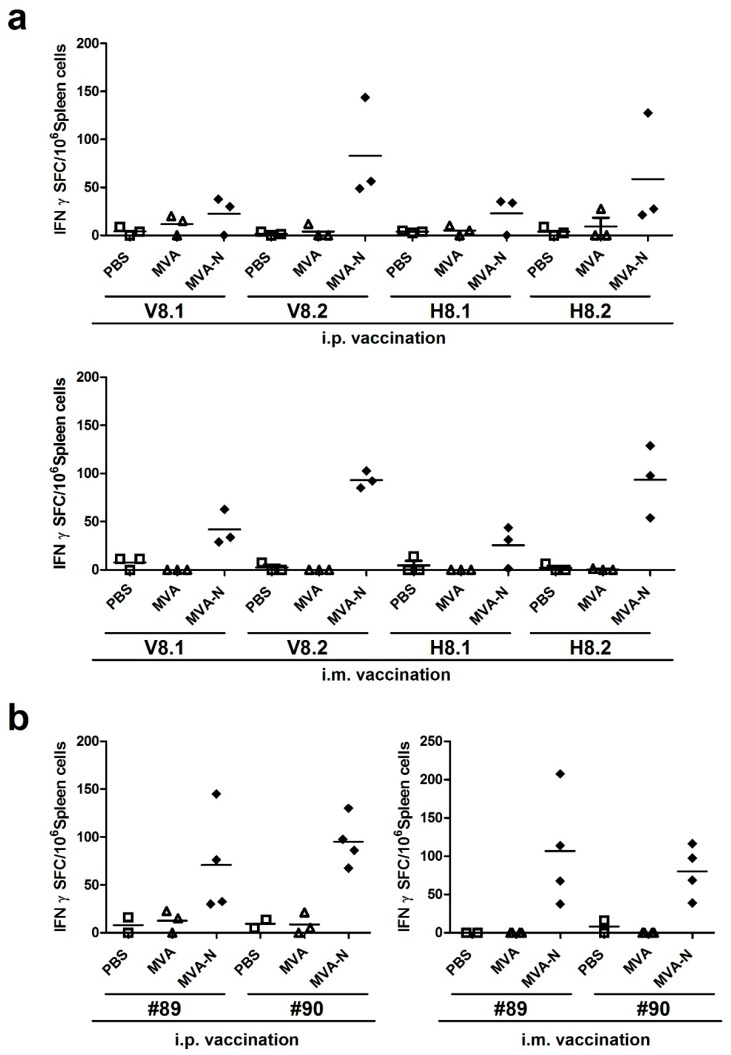 Mapping of H2-d restricted T cell epitopes in <t>MERS-CoV</t> N protein; ( a–b ) BALB/c mice (n = 2 to 4) were immunized twice (21-day interval) i.p. or i.m. with 10 8 PFU of recombinant MVA-MERS-N (MVA-N), non-recombinant MVA (MVA) or PBS. Splenocytes from vaccinated mice were incubated in the presence of subpools (V8.1, V8.2, H8.1, H8.2) from positive matrix pools ( a ) or individual 15-mers peptides #89 or #90 ( b ). IFN-γ spot-forming CD8+ T cells (IFN-γ SFC) were quantified by ELISPOT. The lines represent means.