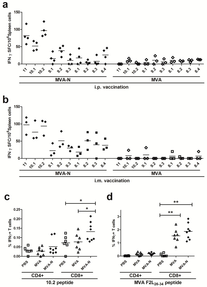 Identification of an H2-d restricted T cell epitope in MERS-CoV N protein; ( a–d ) Groups of BALB/c mice ( n = 3 to 8) were vaccinated in a prime-boost regime with 10 8 PFU of MVA-MERS-N via i.p. ( a ) or i.m. ( b–d ) application. Mice immunized with non-recombinant MVA (MVA) and PBS served as negative controls. ( a-b ) Splenocytes were stimulated with individual 8-11-mer peptides and IFN-γ spot-forming CD8+ T cells (IFN-γ SFC) were measured by ELISPOT. ( c–d ) Splenocytes were stimulated with positive MERS-CoV N 10.2 peptide ( c ) or F2L 26-34 peptide ( d ) and IFN-γ producing CD8+ or CD4+ T cells were measured using intracellular cytokine staining assay and FACS analysis. The lines represent means. *