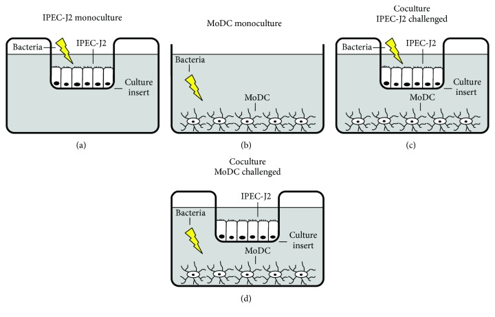 Schematic illustration of experimental design. (a) IPEC-J2 monocultures were grown as a monolayer on the top surface of Transwell cell culture inserts. Bacteria were added to the IPEC-J2 compartment. (b) MoDC monocultures were cultivated in <t>12-well</t> cell culture plates. Bacteria were added to the MoDC compartment. (c)–(d) Cocultures of IPEC-J2 cells grown on Transwell inserts and adherent MoDC located in the bottom compartment. In separate approaches, bacteria were added either (c) to the IPEC-J2 compartment or (d) to the MoDC compartment. The lightning flash indicates the localization of the bacterial challenge with either E. faecium or ETEC.