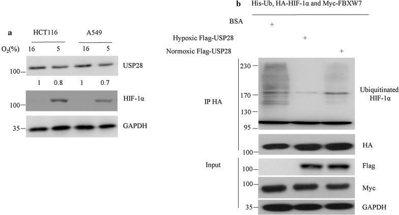 Hypoxia enhanced the deubiquitinating activity of USP28 on HIF-1α. a HCT116 and A549 cells were cultured under normoxic (16% O 2 ) or hypoxic (5% O 2 ) conditions for 24 h. Cells were then lysed and USP28 protein levels were analyzed by western blot. The number on the bottom indicates signal intensity of USP28 protein against GAPDH. b 293T cells were transfected with Flag-tagged USP28 for 24 h and then cultured under normoxic or hypoxic conditions for additional 24 h. Then, Flag M2 beads were used to purify USP28 proteins in 293T cells. HA-HIF-1α, Myc-FBXW7 and His-Ubiquitin were co-transfected in 293T cells for 36 h. MG132 was added 4 h before cells were harvested. Ubiquitinated HIF-1α was purified from 293T cells using anti-HA antibody and used as the substrate of USP28 in vitro. BSA, normoxic USP28 or hypoxic USP28 proteins were added to ubiquitinated HIF-1α-FBXW7 complex for 1 h at 30 °C. 2Χ SDS loading buffer was then added to terminate the enzymatic reaction and the materials were subjected to western blot with indicated antibodies