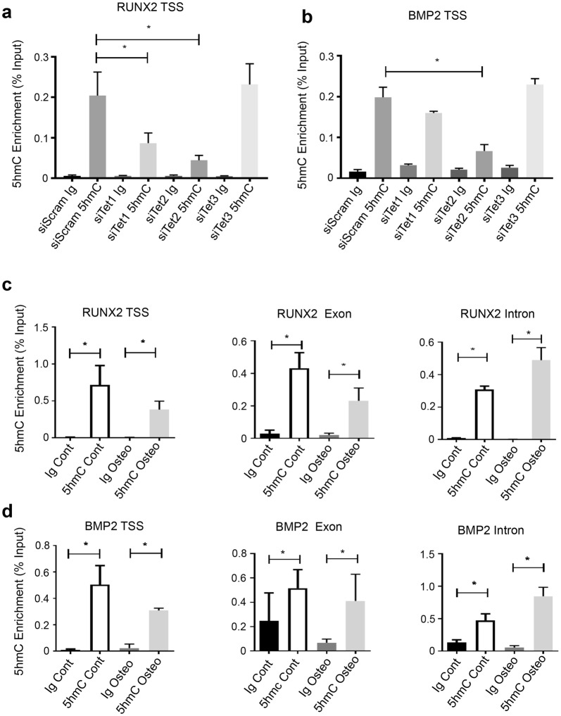 TET1 and TET2 influence 5hmC on osteogenic genes. BMSC were cultured under normal growth conditions and treated with scramble siRNA or siRNA directed to TET1 (siTET1) or TET2 (siTET2) and genomic DNA purified and immunoprecipitated using an antibody to 5hmC. Recruitment of 5hmC to genomic regions was assessed by the hme-DIP analysis and normalised to the genomic input control. a Relative enrichment of 5hmC on RUNX2 transcription start site (TSS) was measured using PCR. b 5hmC on BMP2 TSS was measured as in ( a ). BMSC were cultured under normal growth and genomic DNA purified and immunoprecipitated using an antibody to 5hmC. Recruitment of 5hmc to genomic regions was assessed by the hme-DIP analysis and normalised to the genomic input control. c Cells were cultured under normal and osteogenic conditions. Relative enrichment of 5hmC on RUNX2 transcription start site (TSS), exon and intron regions. d Relative enrichment of 5hmC on BMP2 TSS, exon and intron regions, percentage input. Data represent mean S.E.M., n = 3 BMSC donors, * p ≤ 0.05, one-way ANOVA with multiple comparison analyses