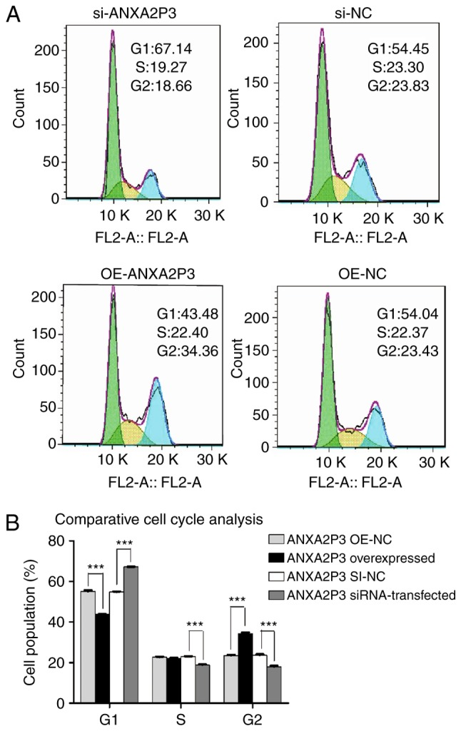 Results of flow cytometric analysis of cell cycle progression. (A) si-ANXA2P3-transfected liver cells exhibited cell cycle arrest in the G 1 phase compared with si-NC cells. si-ANXA2P3 group: 67.14% in G 1 phase, 19.27% in S phase and 18.66% in G 2 phase; si-NC group: 54.45, 23.3 and 23.83%, respectively. In the OE-ANXA2P3 group, the percentage of cells in G 1 phase, S phase and G 2 phase was 43.48, 22.40 and 34.36%, respectively. Conversely, in the OE-NC group, the percentage of cells in G 1 phase, S phase and G 2 phase was 54.04, 22.37 and 23.43%, respectively. (B) Summary of cell cycle distribution in transfected liver cells. Data are presented as the means ± standard deviation. P-values were obtained by Student's t-test. For all experiments, n=3. *** P