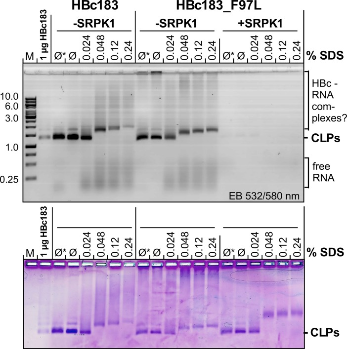 Little impact on SDS sensitivity of CLPs by high phosphorylation, low RNA content and F97L mutation. About 5 μg HBc protein from the indicated CLP preparations were directly loaded (Ø), or after 30 min incubation in non-denaturing 6x DNA loading buffer (Ø*) or in SDS-containing DNA loading buffer (NEB Purple) at the indicated final SDS concentrations, then analyzed by NAGE. A 1 kb DNA ladder (M) plus 1 μg of untreated HBc183 CLPs served as markers. EB fluorescence signals (top) were recorded using a laser scanner (excitation 532 nm/O580 nm filter). Proteins were subsequently stained by CB. In all samples the intact CLP bands became fuzzier at 0.024% SDS compared to the untreated controls, and a distinct upward mobility shift occurred at 0.048% SDS. For the non-phosphorylated CLPs (-SRPK1) this was accompanied by visible release of RNA.