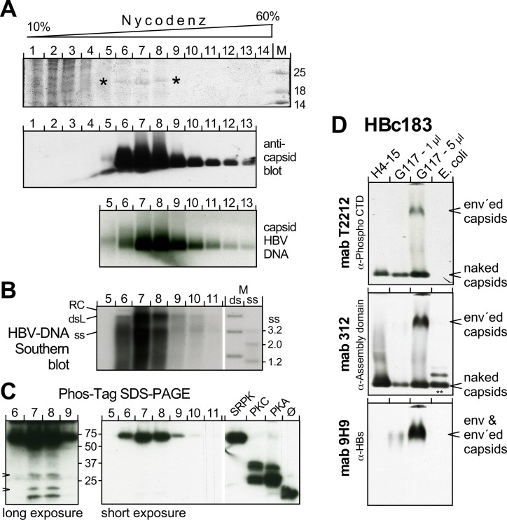 The bulk of HBc183 in capsids from human hepatoma cells is highly phosphorylated. (A) Enrichment of particulate HBc by Nycodenz gradient sedimentation. Cytoplasmic lysate from HBV producing HepG2.117 cells was sedimented through a Nycodenz gradient. Fractions were analyzed by SDS-PAGE and CB staining (top panel; asterisks mark a 21 kDa band possibly representing HBc183; the complete gel is shown in S12A Fig ); by NAGE followed by immunoblotting with the anti-HBc assembly domain mAb 312 as PO conjugate (middle panel); and by hybridization with a 32 P-labeled HBV probe. (B) Southern blot for capsid-borne HBV <t>DNA</t> in individual gradient fractions. M, DNA marker comprising HBV-specific fragments of the indicated sizes loaded in native ds form, or in heat-denatured ss form. (C) Phos-Tag SDS-PAGE immunoblot. Aliquots from the respective gradient fractions and recombinant HBc183 coexpressed with the indicated kinases, or not (ø), were separated by Phos-Tag SDS-PAGE and immuno-blotted with mAb 1D8. Short exposure showed one band with comparably strong retardation as SRPK1-phosphorylated HBc183. Longer exposure (left panel) revealed weak additional bands with mobilities similar to those of unmodified and PKC and PKA phosphorylated HBc183 (arrowheads). (D) Enveloped capsids contain phosphorylated HBc183. PEG-precipitated particles in supernatants from HepG2.117 cells, or from an HBc183 producing Huh7 line, H4-15 were analyzed by NAGE immunoblotting alongside E . coli HBc183 <t>CLPs.</t> The blot was sequentially probed with mAb T2212 (anti-phospho-CTD), mAb 312, and mAb 9H9 (anti-HBs). Note that T2212 detected only HBc from eukaryotic cells, including a low mobility species that comigrated with HBsAg and was absent from the H4-15 samples; it therefore represents enveloped capsids. Additional data employing mAb T2212 are presented in S12 Fig .