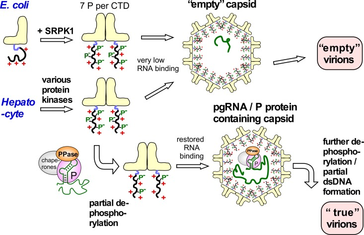 Implications of the high HBc phosphorylation—Low CLP RNA content correlation for specific pgRNA encapsidation in HBV infection. In E . coli nonphosphorylated HBc183 CTDs have maximal positive charge and thus maximal electrostatic RNA binding capacity, generating RNA-filled CLPs ( Fig 1B ). Seven-fold phosphorylation by SRPK1 neutralizes most positive charges, leading to virtually empty capsids. The similarly strong Phos-tag retardation of most HBc183 from human cells indicates similarly high phosphorylation, whether by SRPK1 or a combination of kinases. Strongly reduced RNA binding favors formation of empty capsids and then empty virions, perhaps the dominant pathway in vivo [ 52 ]. The backside of avoiding irrelevant RNA packaging is a loss in specific pgRNA interaction capability. As blocking just one of the seven SRPK1 phosphorylation sites restored substantial RNA packaging in bacteria we propose that the pgRNA/P protein complex, besides other host factors, also carries a protein phosphatase (PPase) activity. This PPase would dephosphorylate only nearby HBc CTDs, and thus locally unleash their RNA binding potential in proximity to pgRNA. This would go on with further HBc dimers until the shell is completed. Progressive dephosphorylation of the now internal CTDs by the PPase activity could maintain electrostatic homeostasis, especially during the near doubling of negative charges associated with dsDNA formation. Targeted nucleocapsid destabilization upon infection of a new cell could occur by CTD re-phosphorylation and completion of plus-strand DNA.