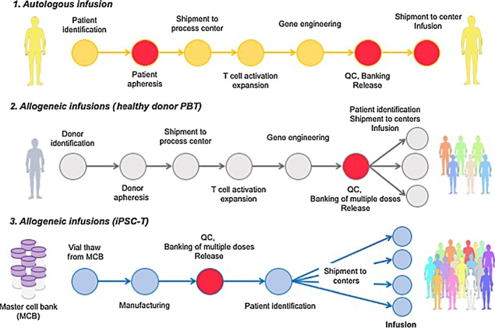 Schema of induced pluripotent stem ( iPS )‐based allogeneic T‐cell immunotherapy. 1. General schema illustrating autologous T cell manufacturing. Autologous T cell manufacturing starts with patient selection followed by apheresis blood collection at a certified facility. Blood sample is shipped to a cell processing center, where the T cells are activated, selected for CD 3, and subsequently transduced with a viral vector harboring a chimeric antigen receptor or a T‐cell receptor. The expanded cells are washed and cryopreserved for quality control ( QC ) release tests. Products are then shipped to an infusion center and infused to the patient. 2. Proposed schema of allogeneic T cell manufacturing. For this strategy, healthy donors for banking are selected and used to produce a cell bank after transduction with viral vector before patient selection. This leads to off‐the‐shelf allogeneic T‐cell immunotherapy. 3. Perspective schema of allogeneic <t>iPSC</t> ‐derived T cell infusion. In this approach, master cell banks are first established after thorough QC and safety tests. Thereafter, a working cell bank is generated for multiple (10‐1000) doses. Following patient identification, a vial is shipped to an infusion center and the product is immediately infused into the patient. Circles in red indicate potential points of manufacturing failure. Examples of failure points for autologous infusion include failure to obtain a sufficient number of PBMC s from the patient at apheresis, unsuccessful expansion after T cell activation and/or gene transduction efficiency, and health condition of the patient at the infusion. On the contrary, allogeneic infusions of healthy donor <t>PBT</t> and iPSC ‐T manufacturing could fail if the product cannot pass QC tests at the construction of a working cell bank (eg, too many dead cells or low gene transduction efficiency to meet the specifications). The major challenge for iPSC ‐derived T cell infusion would be how to generate master cell banks (whether it is at the iPSC stage or intermediate product (s) during differentiation). (Part of this figure is modified from Clarke et al. 49 )