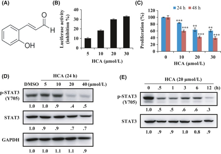 2′‐Hydroxycinnamaldehyde (HCA) suppresses cell proliferation via regulation of signal transducer and activator of transcription 3 (STAT3) activity in DU145 cells. A, The chemical structure of HCA. B, Luciferase activities were determined in DU145 cells that were co‐transfected with the 21pSTAT3‐TA‐Luc reporter vector and pRL‐TK vector for 6 h and subsequently treated with HCA for 24 h (n = 3). C, DU145 cells were treated with HCA for 24 or 48 h. Cell proliferation was measured by WST‐1 (n = 3). D, DU145 cells were treated with indicated concentrations of HCA for 24 h, and the expression level of p‐STAT (Y705) and STAT3 was analyzed by western blotting (n = 2). E, DU145 cells were treated with HCA (20 μmol/L) for the indicated times, and the expression level of p‐STAT (Y705) and STAT3 was analyzed by western blotting (n = 2). The band intensity of each protein was quantified using the MultiGauge program. * P