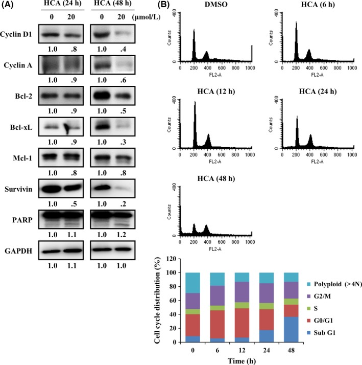 2′‐Hydroxycinnamaldehyde (HCA) downregulates the expression of signal transducer and activator of transcription 3 (STAT3) target genes that induces G0/G1 arrest and apoptosis. A, DU145 cells were treated with HCA (20 μmol/L) for 24 or 48 h and the expression level of the STAT3 target gene was analyzed by western blotting (n = 2). The band intensity of each protein was quantified using the MultiGauge program. B, DU145 cells were treated with HCA (20 μmol/L) for the indicated times. After treatment, the cell cycle distribution was analyzed using a FACSCalibur flow cytometer (n = 2). The ratios of cells in each phase were analyzed using the WinMDI 2.9 analyzer