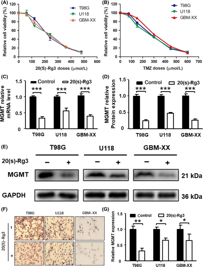 20(S)‐Rg3 inhibits the expression of O 6 ‐methylguanine DNA ‐methyltransferase ( MGMT ) in glioma cell lines. T98G, U118 and GBM ‐ XX cells were seeded in 96‐well flat‐bottom plates at 5000 cells/well, cultured in DMEM supplemented with 10% FBS , and then treated with increasing concentrations of 20(S)‐Rg3 or temozolomide ( TMZ ), or DMSO as a control; 72 h later, 10 μL of cell counting kit‐8 mix reagent was added to 100 μL of media per well, and the cells were incubated at 37°C for 2 h. The optical density ( OD ) was measured at 450 nm with a spectrophotometer. A,B, The half maximal inhibitory concentration of 20(S)‐Rg3 and TMZ on glioma cells is approximately 200 and 250 μmol/L. C, T98G, U118 and GBM ‐ XX were treated with 20(S)‐Rg3 (100 μmol/L) for 72 h, and the total RNA was extracted with TRI zol; then the expression of MGMT mRNA level was determined by quantitative real‐time PCR (n = 4). *** P