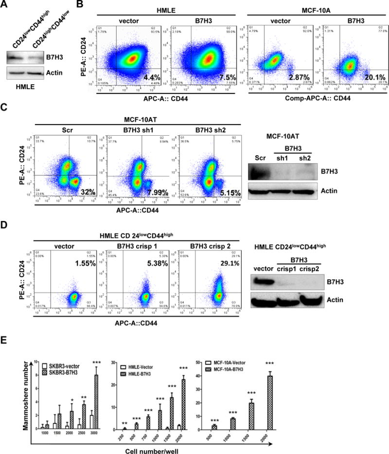 B7-H3 increases breast stem cells A. HMLE-CD24 low CD44 high and HMLE-CD24 high CD44 low cells were sorted form parental HMLE cells. Cell lysates were prepared for Western blotting with an antibody against B7-H3, and β-actin was used as a loading control. B-D. 1 × 10 6 HMLE-vector, HMLE-B7H3, MCF-10A-vector, MCF-10A-B7H3, MCF-10AT-Scr, MCF-10AT-sh1, MCF-10AT-sh2, HMLE-CD24 low CD44 high vector, HMLE-CD24 low CD44 high crispr B7H3-1, and HMLE- CD24 low CD44 high crispr B7H3-2 stable cells were incubated with CD24 and CD44 antibodies for 45 min, washed, and then analyzed by flow cytometry. E. SKBR3-vector, SKBR3-B7H3, HMLE-vector, HMLE-B7H3, MCF-10A-vector, and MCF-10A-B7H3 cells were seeded in ultralow attachment 96-well plates at different cell numbers with conditioned medium. After 5–10 days incubation, the mammosphere (diameter > 75 μm) number was counted. X-axis represents the number of seeded cells per well. Columns represent the mean of three independent experiments; Bars represent S.E. **, p