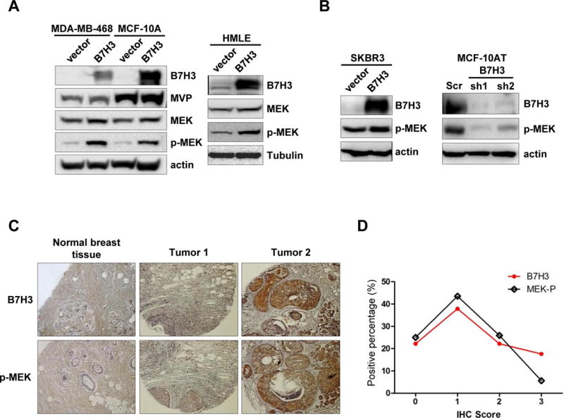 B7-H3 regulates MEK activation in vitro and in vivo A-B. MDA468-vector, MDA468-B7H3, MCF-10A-vector, MCF-10-B7H3, HMLE-vector, HMLE-B7H3, SKB3-vector, SKBR3-B7H3, MCF-10AT-Scr, MCF-10AT-sh1(B7H3), and MCF-10AT-sh2 (B7H3) cells were collected. Cell lysates were prepared for Western blotting with an antibody against B7-H3, MVP, total MEK, MEK-p, and β-actin(or tubulin) was used as a loading control. C-D. Tissue microarrays were stained with B7-H3, MVP, and MEK-P antibodies. The intensity of the positive staining (scores: negative=0, weak=1, moderate=2, strong=3) was scored. Then, the number of positive-stained cells (scores: