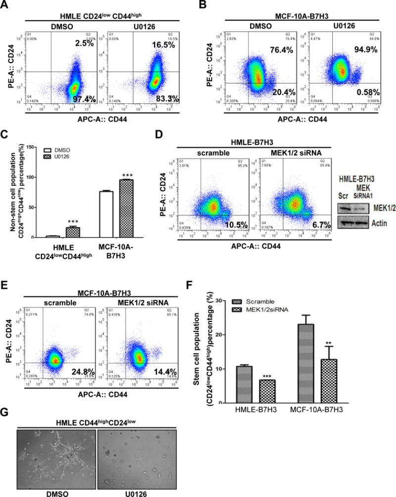 MEK activation is required for B7-H3 induced breast stem cells and acinar disruption A-C. HMLECD24 low CD44 high and MCF-10A-B7H3 were treated U0126 and DMSO(control) for 24 hours. Cells were incubated with CD24 and CD44 antibodies for 45 min, washed, and then analyzed by flow cytometry. D-E. HMLE-B7H3 and MCF-10A-B7H3 cells were transfected with scramble and MEK1/2 siRNA respectively. 48 hours later after transfection, cells were incubated with CD24 and CD44 antibodies for 45 min, washed, and then analyzed by flow cytometry. G. Cells were seeded in 3D Matrigel culture and treated with U0126 or DMSO as control. F. Phase-contrast images showing acinar morphology ofHMLECD24 high CD44 low with U0126 and DMSO.