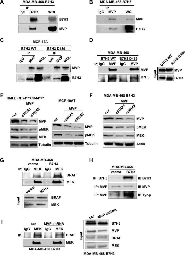 B7-H3 regulates MEK activation through MVP A-B. IP of B7-H3 (or MVP) and control mouse IgG followed by immunoblot analysis of MDA468-B7H3 with whole cell lysates as positive control. C-D. Immunoblot analysis of WCL or IP of MVP and control mouse IgG from lysates from MCF-12A-wt-B7H3, MCF-12A-B7H3-D489(cytosolic domain deletion), MDA468-wt-B7H3, MDA468-B7H3-D489(cytosolic domain deletion). E-F. Cells were transfected with scramble and MVP siRNAs respectively. 48 hours later after transfection, cell lysates were prepared for Western blotting with an antibody against B7-H3, MVP, total MEK, MEK-p, and β-actin(or tubulin) was used as a loading control. G. Immunoblot analysis of IP of MEK and control mouse IgG of lysates from MDA468-vector and MDA468-B7H3. H. Immunoblot analysis of IP of MVP (or B7-H3) and control mouse IgG of lysates from MDA468-vector and MDA468-B7H3. I. Immunoblot analysis of IP of MEK and control mouse IgG of lysates from MDA468-B7H3(scramble) and MDA468-B7H3(MVP shRNA).
