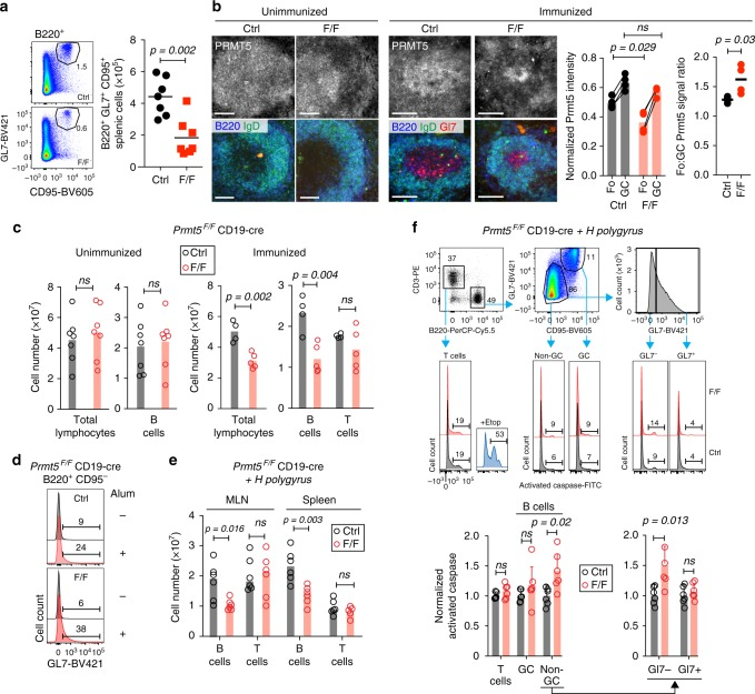 Prmt5 is required for the survival of activated B cells in vivo. All panels compare Prmt5 F/F CD19-cre (F/F) versus CD19-cre (Ctrl) mice. a Representative flow cytometry plots of splenic GC B cells (B220 + , GL7 high , CD95 + ) 14 days after NP-CGG immunization. Total number of GC B cell number for individual mice (symbols) and mean values (bars) from three experiments are plotted. b Representative immunofluorescence microscopy of mouse spleen sections stained for Prmt5, B220, GL7, and IgD from unimmunized (two per genotype from one experiment) or immunized with NP-CGG, day 14 (four per genotype from two experiments). Scale bars, 100 μm. The Prmt5 signal per follicular (Fo) and GC B cell was quantified in individual follicles from four immunized mice of each genotype. The lefthand plot shows mean normalized Prmt5 signal in Fo and GC B cells from 4–7 follicles per mouse (symbols), with lines joining mean values (bars) of the two B cell types in individual mice. The righthand plot shows the mean GC/Fo signal ratio per mouse. c Absolute number of splenic lymphocytes for individual mice unimmunized or 14 days post-immunization (symbols) with means (bars) from two experiments. d Representative histograms of GL7 expression in non-GC B cells (B220 + CD95 − ) from mice injected or not with Alum (day 14). One experiment, two mice per genotype per treatment. e Absolute number of B and T cells in mesenteric lymph node (MLN) and spleen of individual mice (symbols) 14 days post-infection with H. polygyrus , with medians (bars), from two experiments. f Sequential gating to analyze T, GC, and non-GC B cells, as well as the GL7− and GL7+ fractions of the latter (top) and representative histograms of pan-caspase staining in MLN of the mice analyzed in e . Gates were set using cells treated with etoposide (3 µM). Means + s.d. proportion of pan-caspase + cells from six mice from two experiments are plotted, normalized to the control's average for each subset. p -Values are by Mann–Whitney test ( b ) or an unpaired, two-tailed Student's t test ( c , e , f ); ns, not significant