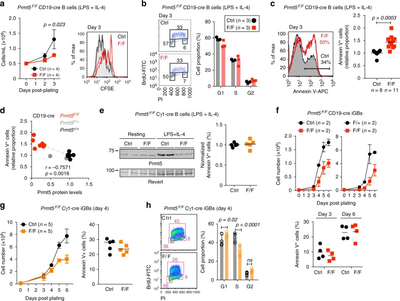 Prmt5 protects B cells from apoptosis and promotes proliferation. a – d One million naïve splenic B cells from CD19-cre (Ctrl) and Prmt5 F/F CD19-cre (F/F) mice were plated with LPS (5 µg/mL) + IL-4 (5 ng/mL). a Cell expansion over time monitored by cell counting (left) and number of cell divisions by day 3 monitored by CFSE stain dilution (right) from two experiments, four mice per genotype. b Cell cycle profile of cells pulsed with BrdU at day 3 before staining with anti-BrdU and propidium iodide (PI). Data for three mice (symbols) per genotype and means (bars) from one experiment are plotted. c Representative Annexin-V + staining histograms of B cells 3 days post-plating. The proportion of Annexin-V + cells for individual mice (symbols) and means (bars) from five experiments are plotted normalized to the Ctrl mean. d Proportion of Annexin-V + B cells as a function of Prmt5 protein levels measured by WB and normalized to Actin 72 h post-stimulation. Spearman's correlation coefficient ( r ) and p -value ( p ) are indicated. e WB of Prmt5 and Revert protein staining as loading control in extracts of splenic B cells from Cγ1-cre (Ctrl) and Prmt5 F/F Cγ1-cre (F/F) mice, stimulated as in a for 72 h. The normalized proportion of Annexin-V + cells for individual mice (symbols) from three experiments and mean values (bars) are plotted. f Top, resting splenic B cells from Prmt5 F/+ CD19-cre (Ctrl) or Prmt5 F/F CD19-cre (F/+) and Prmt5 F/F CD19-cre (F/F) mice plated onto 40LB cells with 1 ng/mL IL-4 to generate GC-like B cells (iGBs). Mean ± s.e.m. cell counts per day are plotted for two experiments with two mice each. Bottom, proportion of Annexin-V + iGBs for individual mice (symbols) and means (bars) for both experiments are plotted, pooling +/+ and F/+ as controls. g Cγ1-cre (Ctrl) and Prmt5 F/F Cγ1-cre (F/F) mice iGBs analyzed as in f . h Representative cell cycle profile as in b in Cγ1-cre (Ctrl) and Prmt5 F/F Cγ1-cre (F/F) iGBs at day 4. Means + s.d. of six mice per genotype from three experiments are plotted. Unpaired, two-tailed Student's t test was performed in a , c , e – g , only significant p -values are shown