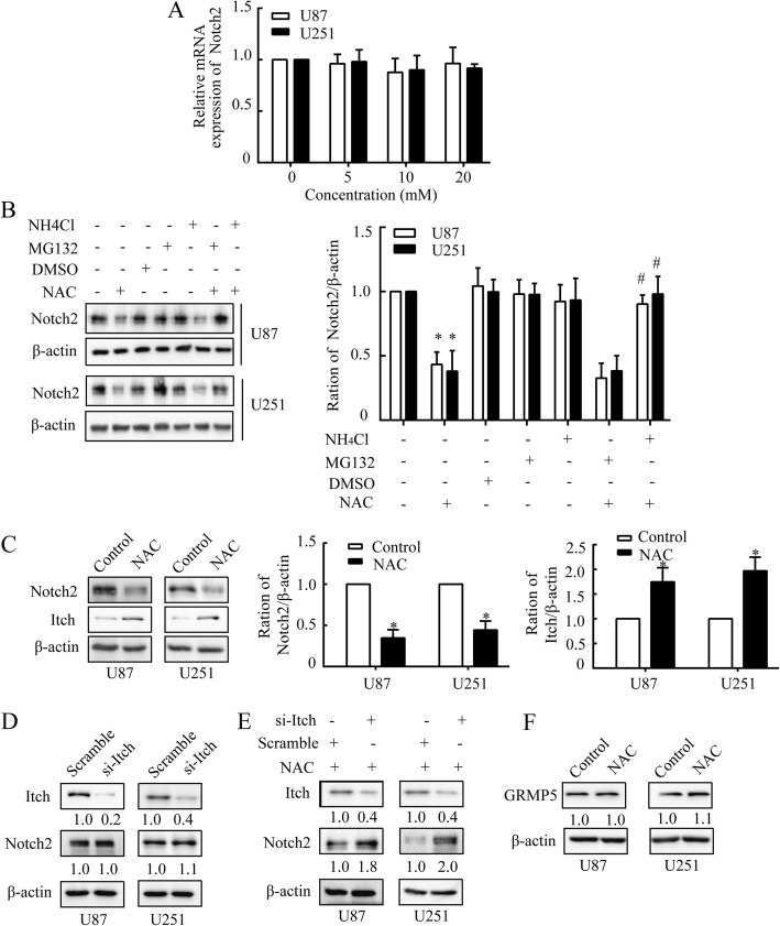 NAC diminishes Notch2 depending on lysosomal degradation. a , The mRNA analysis of Notch2 following dose-dependent treatment of NAC. U87 and U251 cells were treated with NAC (5, 10 or 20 mM) for 24 h. β-actin was used as a housekeeping gene. b The western blot analysis of Notch2 under proteasome (MG132, 10 μM) or lysosome (NH 4 Cl, 100 μM) inhibition and NAC (10 mM) treatment in U87 and U251 cells. c Notch2 and Itch were examined by western blot in U87 and U251 cells after NAC treatment (10 mM) for 24 h. d and e The western blot analysis of Itch and Notch2 after Itch silencing ( d ) or after NAC (10 mM) treatment in the presence of si-Itch ( e ) in U87 and U251 cells. f CRMP5 was analyzed by western blot in U87 and U251 cells after NAC treatment (10 mM) for 24 h. β-actin was used as a loading control. All data are presented as means ± SD of three independent experiments. * P