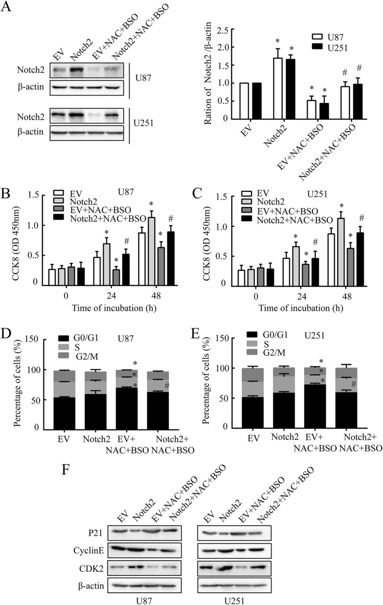 NAC attenuates proliferation of GBM cells through Notch2 signaling. a ,Notch2 was analyzed by western blot. b and c Cell viability was analyzed by CCK8 at 450 nm. d and e The cell cycle analysis was measured by the percentage of cells in each phase in U87 and U251 cells. f The expression levels of P21, cyclin E and CDK2 in U87 and U251 cells. All cells were electroporated with pcDNA3.1-Notch2 or pcDNA3.1-EV, pcDNA3.1-EV served as a control, followed by BSO (1 mM, 12 h) and NAC (10 mM, 24 h) treatment. β-actin was used as a loading control. All data are presented as means ± SD of three independent experiments. * P