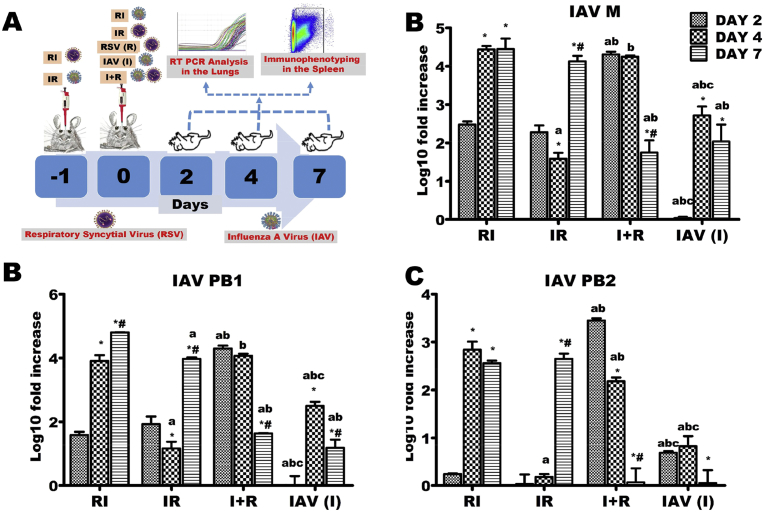 Influenza A virus (IAV) M, PB1 and PB2 genes expressions across the experimental groups. Six groups of BALB/c mice were intranasally treated with 32 μl of normal saline (uninfected), RSV A2 (RSV(R)), Pr/H3N2 (IAV (I)) or co-treated simultaneously (I + R) or one after the other at 24 hours interval (IR and RI). (A) On days 2, 4 and 7, mRNA was extracted from lungs (n = 5) for real time PCR analysis of IAV genes. (B) mRNA expression level of M gene (C) mRNA expression level of PB1 (D) mRNA expression level of PB2. IAV M, PB1 and PB2 genes were expressed early on infection in I + R group and this was sustained up until the 4 th day. CT values were normalized with GADPH, mRNA expression level was calculated using 2 −ΔΔCT method and presented as Log10 fold increase relative to uninfected controls. mRNA expressions for IAV M, PB1 and PB2 were not detected in RSV (single virus) infected mice. * vs Day 2 and # vs Day 4 for within group comparison while a vs RI, b vs IR and c vs I + R for comparing between groups of the same day (p