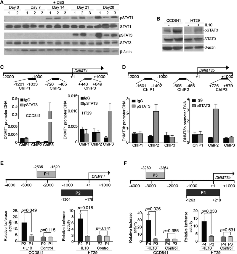IL-10 Induces the Activation of STAT3 that Binds to the dnmt1 and dnmt3b Promoters in Colon Epithelial and Carcinoma Cells (A) WT C57BL/6 mice were treated with the 2% DSS-water cycle, as described in STAR Methods . Colon tissues were collected from mice at the indicated time points and analyzed by western blotting for STAT1 and STAT3 protein levels. β-Actin was used as a normalization control. (B) CCD841 and HT29 cells were treated with recombinant IL-10 (100 ng/mL) for 2 hr and analyzed for the indicated proteins by western blotting. (C) Top: structure of the Dnmt1 promoter region. The number below the bar indicates nucleotide locations relative to the Dnmt1 transcription initiation site. The ChIP PCR primer regions are indicated under the bar. Bottom: CCD841 and HT29 cells were stimulated with recombinant IL-10 protein (100 ng/mL) for 16 hr, then analyzed by ChIP using immunoglobulin G (IgG) control antibody and pSTAT3-specific antibody, respectively, followed by qPCR analysis with Dnmt1 promoter DNA-specific PCR primers, as shown at top. Input DNA was used as a normalization control. The input of each ChIP primer set was arbitrarily set at 1, and the pSTAT3 was normalized to the input DNA level. Column, mean; bar, SD. (D) Top: structure of the Dnmt3b promoter region. The number below the bar indicates nucleotide locations relative to the Dnmt3b transcription initiation site. The ChIP PCR primer regions are indicated under the bar. Bottom: CCD841 and HT29 cells were stimulated with recombinant IL-10 protein (100 ng/mL) for 16 hr, then analyzed by ChIP using IgG control antibody and pSTAT3-specific antibody, respectively, followed by qPCR analysis with Dnmt3b promoter DNA-specific PCR primers, as shown at top. Input DNA was used as a normalization control. The input of each ChIP primer set was arbitrarily set at 1, and the pSTAT3 was normalized to the input DNA level. Column, mean; bar, SD. (E and F) The human DNMT1 (E) and DNMT3b (F) promoter DNA fragments were amplified by PCR from the two indicated regions (top: P1 and P2 for DNMT1 , and P3 and P4 for DNMT3b ) and cloned to the pGL3 vector. pGL3 vectors containing the P1, P2, P3, or P4 DNA fragments were transiently transfected to CCD841 and HT29 cells, respectively, overnight. Cells were either untreated (control) or treated with IL-10 (100 ng/mL) for 4 hr. Cells were lysated and analyzed for luciferase activity. Bar, SD.