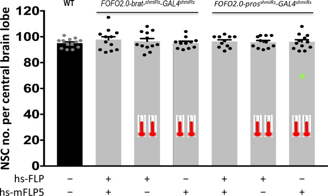 FOFO2.0 precludes formation of supernumerary NSCs unless both FLP and mFLP5 are provided. Quantification of the number of NSCs (identified by expression of Miranda) per brain lobe in third-instar larvae of the indicated genotypes (above histograms) crossed to either both hs-FLP and hs-mFLP5 or just one of them (as indicated below graph), subjected or not to heat-shock (indicated by thermometers). One brain lobe per animal was picked at random. Histograms heights represent the mean and error bars the S.D. There was no statistically significant difference between any of the conditions. Data points shown were collected from two biological replicates (in order of histograms presented: n = 13; n = 12, p = 0.7177; n = 12, p = 0.964; n = 11, p = 0.9999; n = 11, p = 0.9899; n = 11, p = 0.9995; n = 12, p = 0.9963). * At low-frequency (0.3%) tumors were observed in heat-shocked animals carrying only hs-mFLP5 and FOFO2.0-pros shmiRs <t>-GAL4</t> shmiRs ; tumors were labeled by EGFP expression and in those cases only NSCs outside the green domain were counted. 10.7554/eLife.38393.006 Quantification of NSCs in indicated conditions.