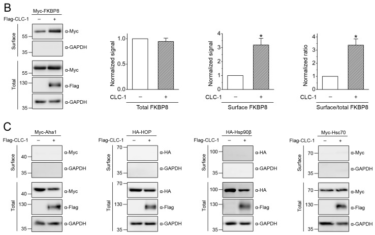 Detection of cell surface FKBP8 expression by biotinylation. ( A ) Surface biotinylation experiments on HEK293T cells expressing Flag-CLC-1 in the absence or presence of Myc-FKBP8. ( Left ) Representative immunoblots. Co-expression with the Myc vector was used as the vector control (-). Cell lysates from biotinylated intact cells were subject to either direct immunoblotting analyses ( Total ) or streptavidin pull-down prior to immunoblotting ( Surface ), using the indicated antibodies (α-Myc, α-Flag, or α-GAPDH). Total represents about 8% of the amount of the protein used for streptavidin pull-down. The molecular weight markers (in kDa) are labeled to the left. GAPDH expressions are shown as the loading control. ( Right ) Quantification of total and surface CLC-1 protein levels ( n = 6). The protein density was normalized to that of the corresponding vector control; ( B ) Surface biotinylation analysis of Myc-FKBP8 in the absence or presence of Flag-CLC-1. ( Left ) Representative immunoblots. ( Right ) Quantification of FKBP8 protein levels and membrane trafficking ( n = 8). The membrane trafficking efficiency of FKBP8 was expressed as surface protein density divided by the corresponding total protein density ( Surface/total ); ( C ) Representative immunoblots showing surface biotinylation analysis of Myc-Aha1, HA-HOP, HA-Hsp90β, or Myc-Hsc70, in the absence or presence of Flag-CLC-1. Asterisks denote significant difference from the control (*, t -test: p