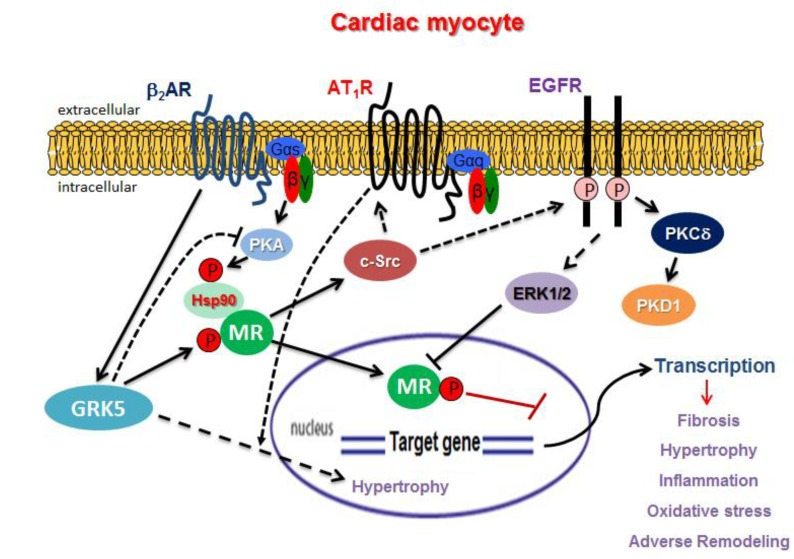 Important GPCR-related molecular pathways involved in crosstalk with the MR in cardiac myocytes. Aldo: Aldosterone; P: Phosphorylation. Solid arrows indicate direct effect, whereas dotted arrows indicate indirect (through additional intermediate proteins) effect. See text for details and for all other molecular acronym descriptions.