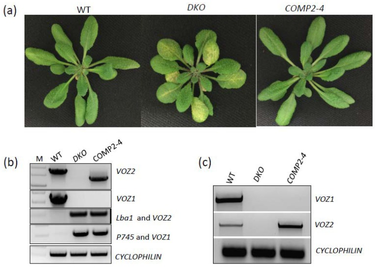 Validation of genotypes used for RNA-Seq. ( a ) Top panel: Phenotype of 30-day-old plants of wild-type (WT), double knockout ( DKO) mutant ( voz1-1 voz2-1 ) and DKO complemented line (COMP2-4) grown at 21 °C under day neutral conditions at 60% humidity. ( b ) Genomic PCR of three genotypes used for RNA-Seq. Top panel (PCR with VOZ2 -specific primers); second panel (PCR with VOZ1 -specific primers); third panel (PCR with T-DNA specific Lba1 and VOZ2 -specific reverse primer); fourth panel (PCR with Tn insertion specific primer P745 and VOZ1-specific forward primer); bottom panel (PCR with CYCLOPHILIN -specific primers). In all cases expected size PCR product was obtained. ( c ) Analysis of expression of VOZ1 (top panel), VOZ2 (middle panel) and CYCLOPHILIN (bottom panel) using sqRT-PCR in 30-day-old seedlings of WT, DKO mutant ( voz1-1 voz2-1 ) and DKO complemented line (COMP2-4).