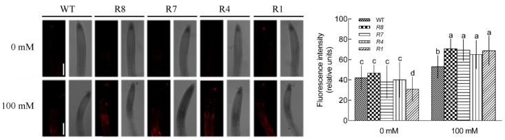 Ca 2+ levels within roots of GL1 and CPK12 -RNAi plants. ( A ) Seven-day-old seedlings were transferred to MS medium supplemented with (100 mM) or without NaCl (0 mM) for 12 h, then stained with the Ca 2+ -specific fluorescent probe Rhod-2 AM for 1 h at room temperature. Orange-red fluorescence within cells was detected at the apical region of roots under a Leica confocal microscope. Representative confocal images show cytosolic Ca 2+ content in plant roots. Scale bars, 100 μm. ( B ) The relative fluorescence intensity (±SD) represents the mean of 10 independent seedlings. The mean values of Ca 2+ fluorescence are labeled with letters in the same group to denote significant differences ( p