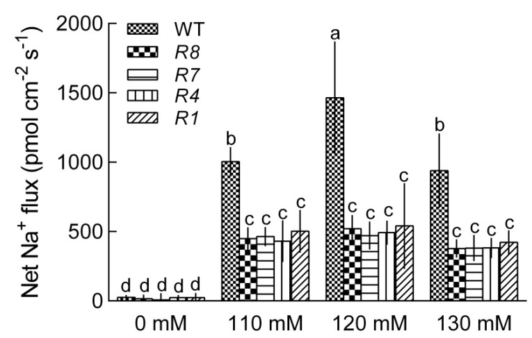Na + flux in GL1 and CPK12 -RNAi plants. Seeds were germinated for one week in a vertical direction on MS agar medium containing 0, 110, 120, 130 mM NaCl. Continuous NMT recording were applied at the meristem region of the root tips. Each column is the mean of six independent seedlings; bars show the standard error of the mean. Columns marked with letters in the same group indicate significant differences at p