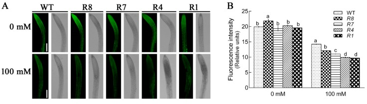 Effect of salt stress on cell viability in wild-type (GL1) and CPK12 -RNAi lines. ( A ) Seven-day-old seedlings were transferred to MS medium supplemented with or without 100 mM NaCl for 12 h. Cell viability was assayed with fluorescein diacetate (FDA, green) stain. Representative images of apical region of roots are shown. Scale bars, 100 μm. ( B ) The fluorescence intensity (±SD) represents the mean of 10 independent seedlings. The mean values of FDA fluorescence are labeled with letters in the same group to denote significant differences ( p