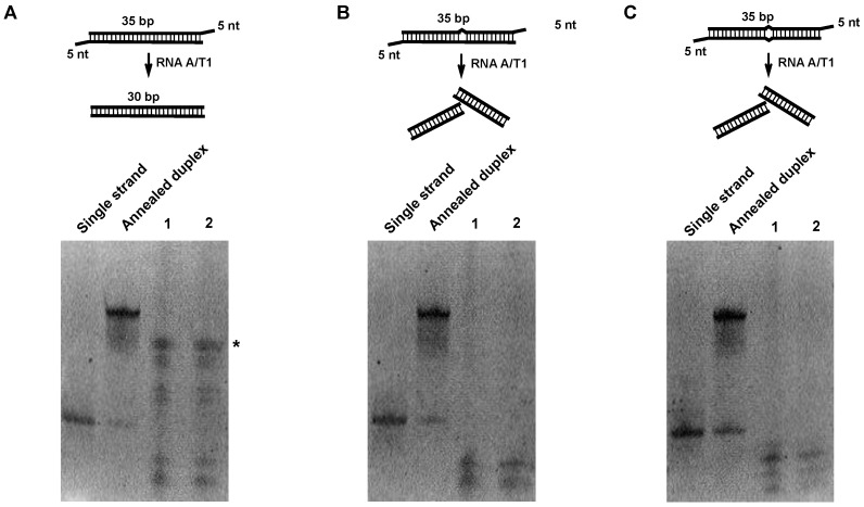 Digestion of RNA duplex oligos with RNAse A/T1. Initially, 1 μg of each RNA duplex oligo was digested with different concentrations of RNAse A/T1 at 37 °C for 30 min. RNA was separated on 15% acrylamide Tris/borate/ethylenediaminetetraacetic acid (TBE) native gels and stained with SYBR gold. ( A ) Digestion of perfect matched RNA duplex; * indicates an enriched RNA duplex. ( B ) Digestion of RNA duplex with bulge. ( C ) Digestion of RNA duplex with internal loop. Lane 1, 1:200 dilutions of RNAse A/T1 cocktail. Lane 2, 1:500 dilutions of RNAse A/T1 cocktail.
