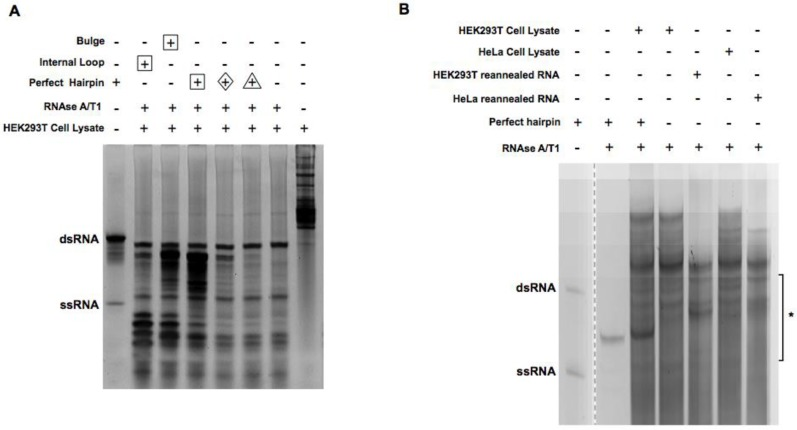 Digestion of cell lysate and reannealed RNA with RNAse A/T1. ( A ) HEK293T cell lysate spiked with different kinds of RNA duplex oligos were digested with 1:200 dilution of RNAse A/T1 at 37 °C for 30 min. RNA was extracted after digestion and separated on 15% acrylamide TBE native gels and stained with SYBR gold. Lanes with different amounts of spike-in RNA were labeled with different shapes (Δ, 0.1 μg; ◊, 0.5 μg; ☐, 5 μg). The arrow indicates the band that was subject to more detailed investigation as described in Section 2.3 . ( B ) Cell lysate and reannealed RNA with or without spiked-in were digested with 1:200 dilution of RNAse A/T1. * indicates where the bands were cut for cloning and sequencing.