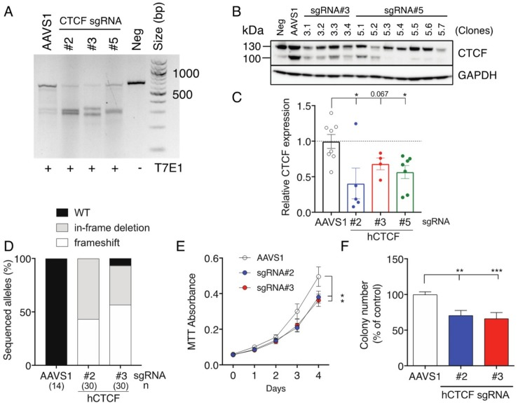 Inhibition of cell proliferation and clonogenicity following CRISPR/Cas9 targeting of CTCF in K562 cells. K562 cells were transduced with Cas9 and sgRNA-containing lentivectors (AAVS1 sgRNA = control; human CTCF exon 3 sgRNAs #2, #3, #5) and enriched for eGFP + mCherry + cells using FACS; Neg = untransduced K562 cells. ( A ) CTCF exon 3 PCR amplification and T7 endonuclease I (T7EI) digestion: approximate expected sizes (in bp) for digested products #2 (310, 345), #3 (296, 359) and #5 (323, 332). Analysis of CTCF protein levels in K562 clones: ( B ) immunoblot; and ( C ) densitometric analysis of upper 130 kDa band. CTCF protein expression normalised to GAPDH expression in each sample is shown relative to untransduced K562 cells. ( D ) Summary of results after sequencing of CTCF exon 3 PCR amplicons from individual clones; n = number of clones sequences (in brackets). Functional assays performed were MTT cell proliferation ( E ); and clonogenicity assays ( F ). Quantitative data represent the mean ± SEM for 3–4 experiments each performed in triplicate. Statistical analysis was performed using a Mann-Whitney U-test (ns = not significant, * p