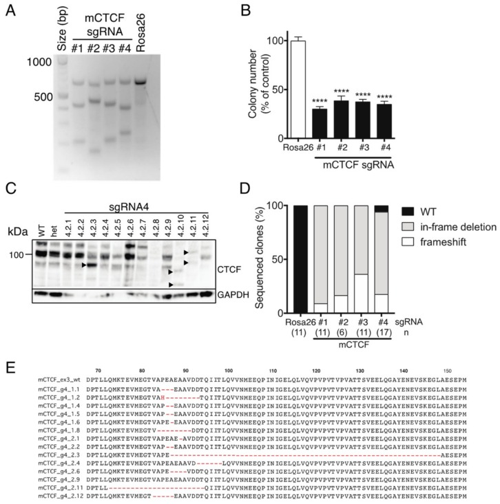 CRISPR/Cas9-directed editing of Ctcf in hemizygous MEFs. ( A ) Ctcf +/pgkneo MEFs transduced with Cas9 and sgRNA-containing lentivectors (mouse Ctcf exon 3 sgRNAs #1, #2, #3, and #4; Rosa26 sgRNA) were FACS-enriched and subjected to T7EI digestion of Ctcf exon 3 amplicons amplified from isolated gDNA. Approximate expected sizes (in bp) for digested products #1 (427, 214), #2 (476, 165), #3 (428, 213), and #4 (399, 242). Clonogenicity assay ( B ); Western blot analysis of individual clones (from sgRNA#4, arrowheads indicate lower molecular weight Ctcf variants) ( C ); and molecular genetic analysis of individual clones; n=number of clones sequenced (in brackets) ( D ). ( E ) Examples of frequently occurring in-frame deletions in Ctcf +/pgkneo MEFs (from sgRNA#4). Quantitative data represent the mean ± SEM for three experiments each performed in triplicate. Statistical analysis was performed using Mann-Whitney U-test (ns = not significant, **** p